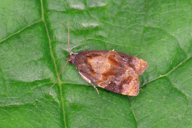 49.004 Red-barred Tortrix - Ditula angustiorana