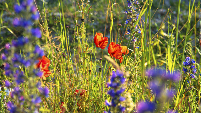 poppies in the bugloss