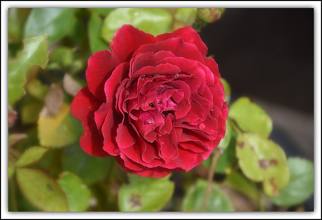 Flower Of The Day - Love Rose