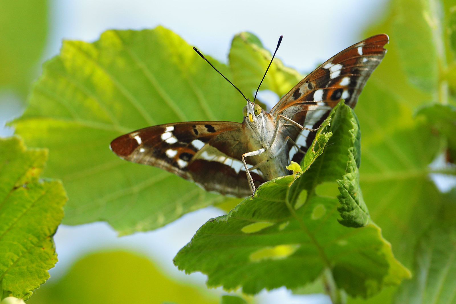 Purple Emperor, Knepp