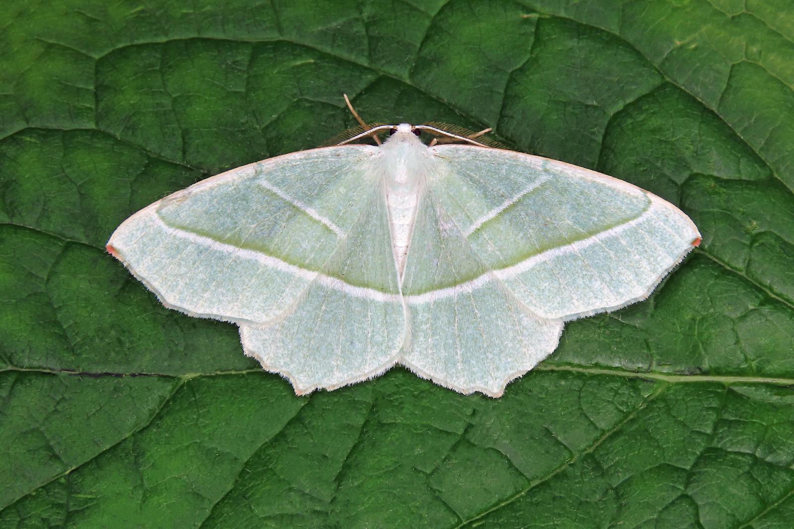 70.283 Light Emerald - Campaea margaritaria