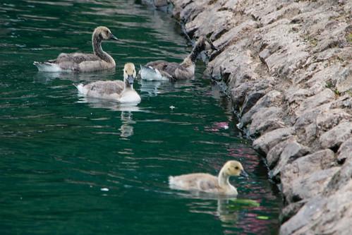 West Park Canada goslings again