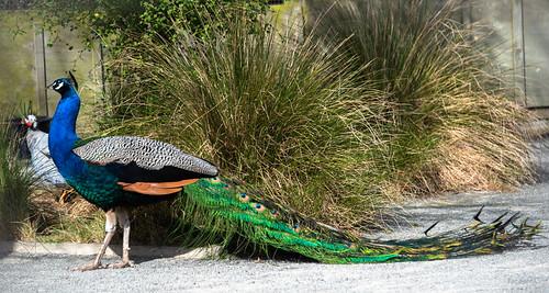 newzealand christchurch willowbankwildlifepark peafowl peacock plants