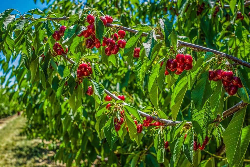 Harvest Time Brentwood U Pick Cherries Ron Nunn Farms Flickr