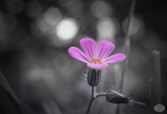 little grassflower