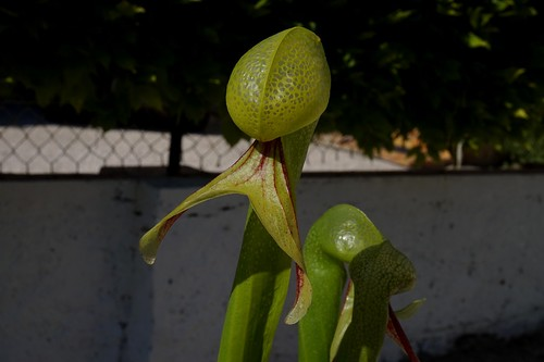 darlingtonia californica debut juin 2020 (4)