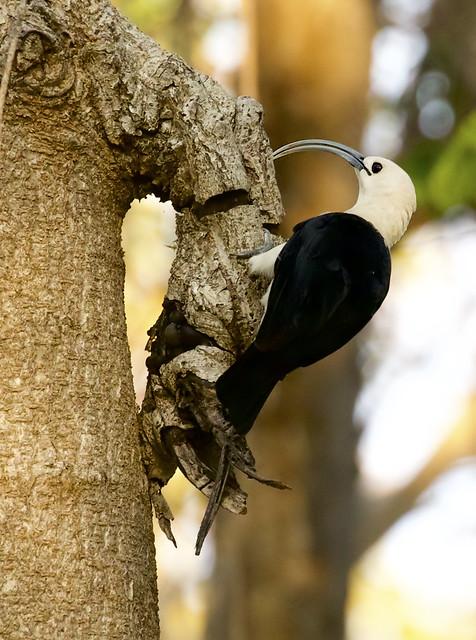 Sickle-billed Vanga (Falculea palliata) finds a small snack
