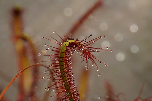 drosera capensis red mars 2020 (4)