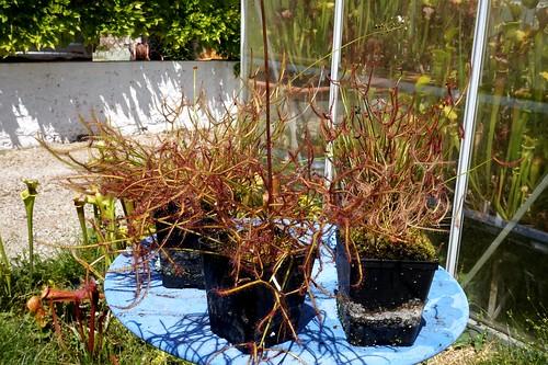 drosera binata varies debut juin 2020