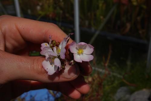 drosera binata multifida fleurs roses debut juin 2020 (2)