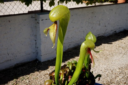 darlingtonia californica debut juin 2020 (2)