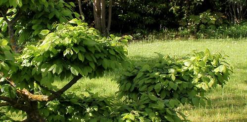 Niwaki, la taille en nuage, l'art topiaire, dans le jardin de Michel 50053306702_c1424ff76d