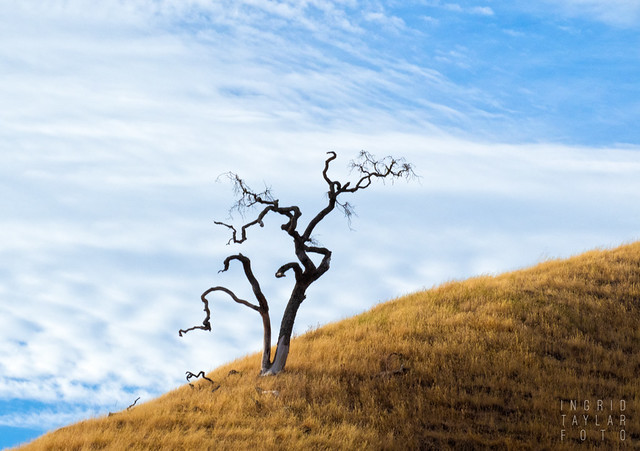 Lone Tree - near Briones Regional Park (sf bay area)