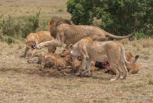 African Lions - Panthera leo