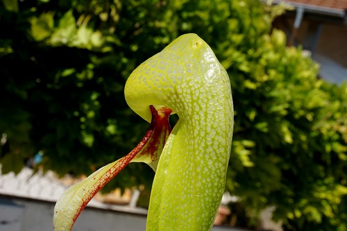 darlingtonia californica debut juin 2020 (6)