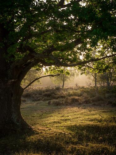 westerheide 2020 hilversum heath earlymorning dawn trees sunrise backlight