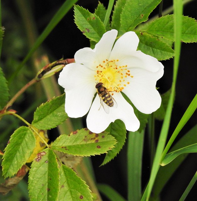 Hover Fly and Wild Rose Flower