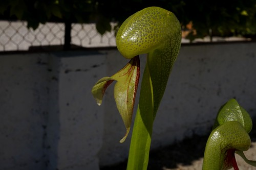 darlingtonia californica debut juin 2020 (3)