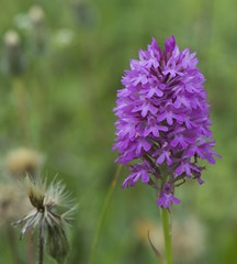 Almost fully open on Lark's meadow, pyramidal orchid