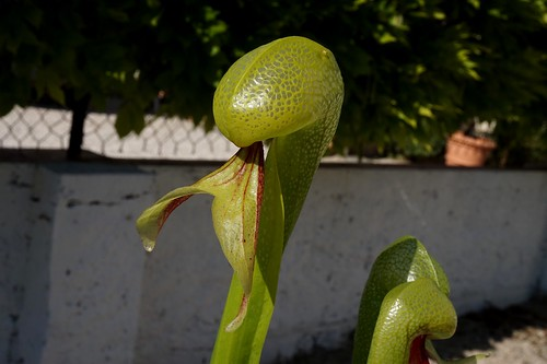 darlingtonia californica debut juin 2020 (1)