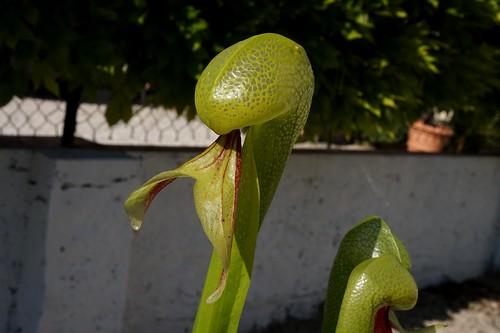 darlingtonia californica debut juin 2020 (1)