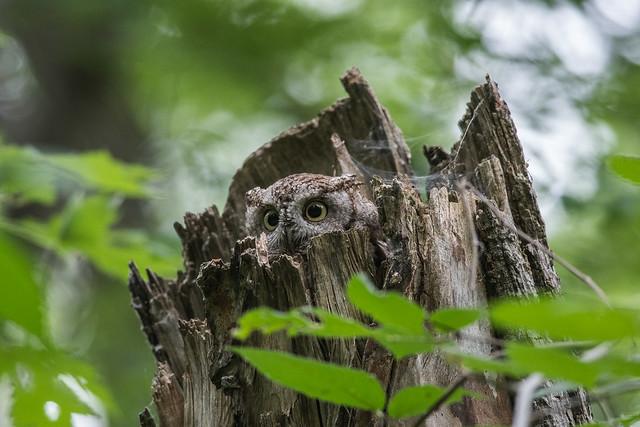 Petit duc maculé/Eastern Screech Owl-_PM30672