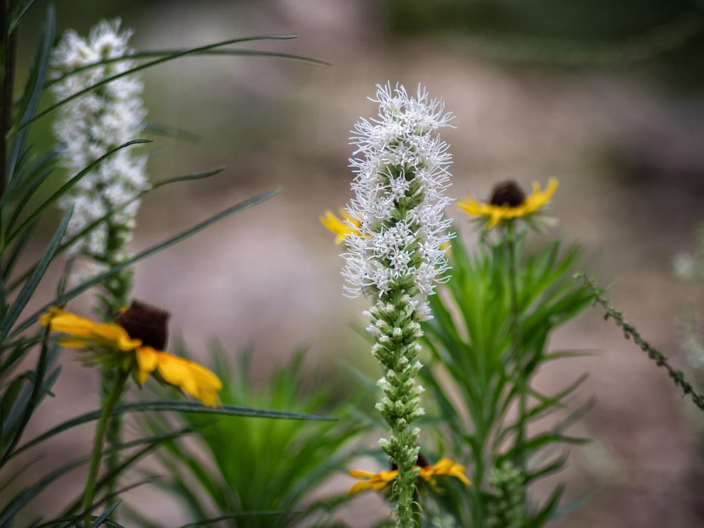White stalks & yellow coneflowers