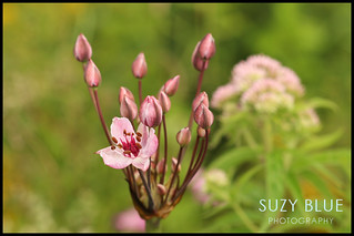 Flowering Rush | by suzypud