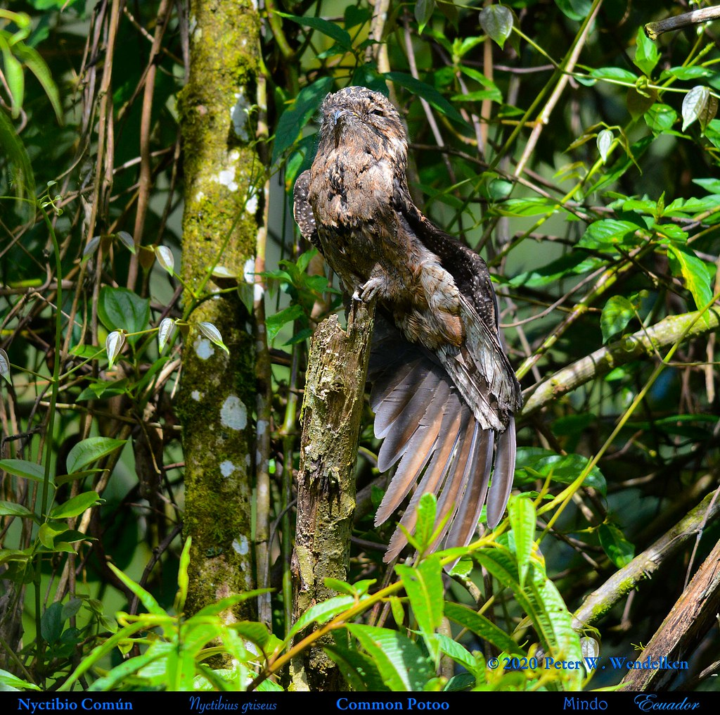 COMMON POTOO Stretching Wing. Nyctibius griseus near Mindo in Northwestern Ecuador. Photo by Peter Wendelken.