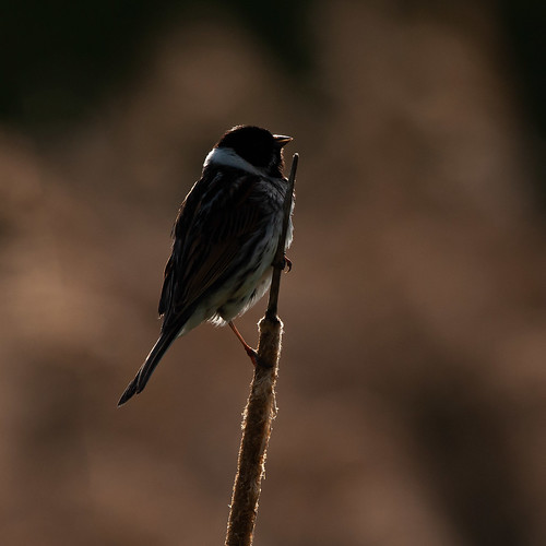 Backlit Reed Bunting | by guyanderson10