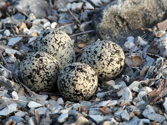 Killdeer nest 01-20200628