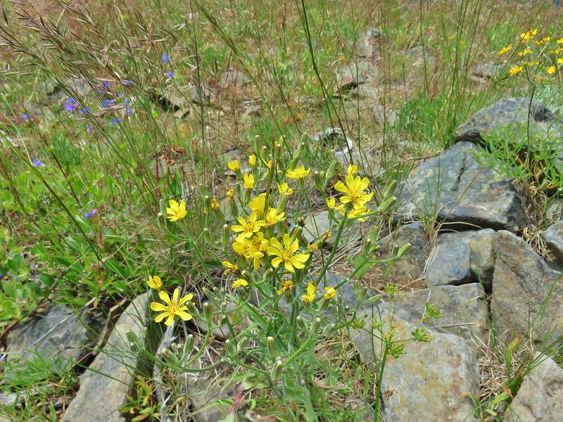 Wildflower on Monte Cristo