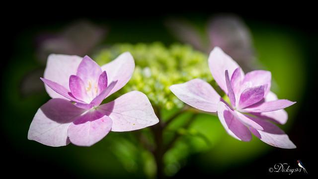 Hortensia à fleurs plates (hydrangea macrophylla jogasaki)