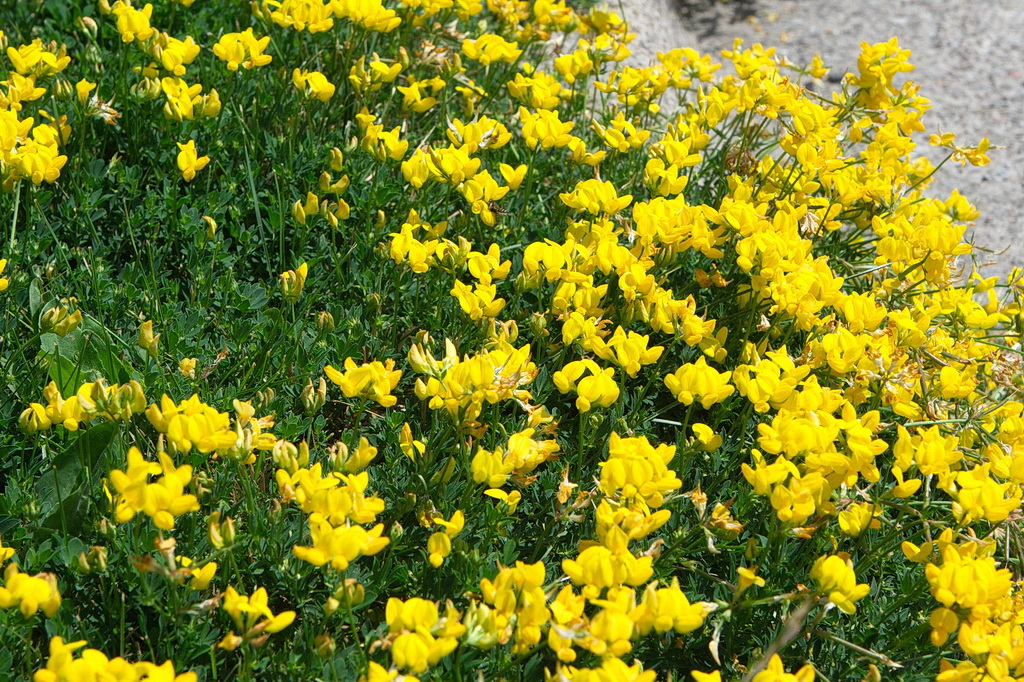 Birdsfoot trefoil invasion