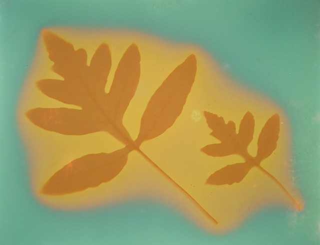 Lumen Print 1828 Fern Leaves by John Fobes: copyrighted all rights reserved.