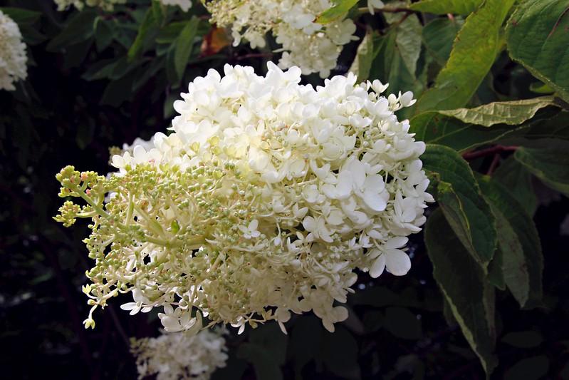 Orillia Ontario Canada ~ Leacock Museum ~ Garden ~  White Lilac  Photo