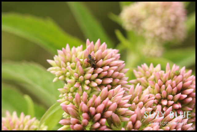 Bug on Hemp Agrimony
