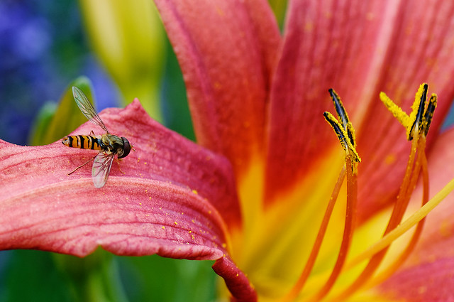 Hoverfly - soft landing on lily