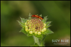 Soldier Beetle on Scabious