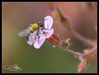 Bee Photos-9.jpg | by Graham Hilling and The Concrete Shell!