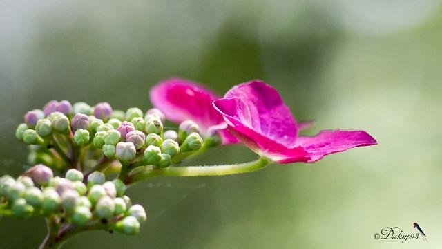 Hortensia à fleurs plates