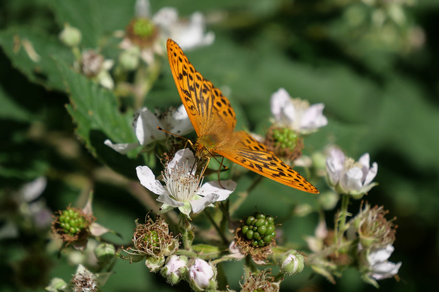 Silver-washed Fritillary. Large is best. Explored.