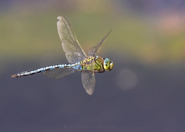 Emperor Dragonfly W - SR1A6682 copy