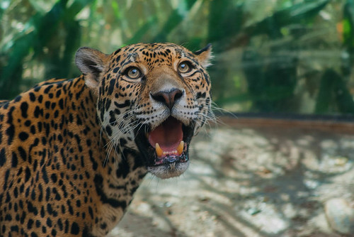 Female jaguar.