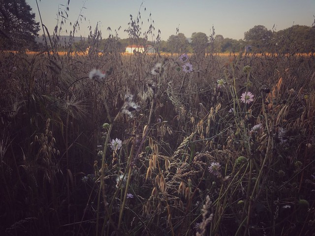 Fiori di campo al tramonto