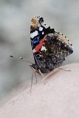 Red Admiral on Skin A R Wallington 2020