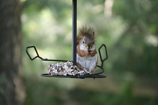 Backyard Red & Fox Squirrels (Ypsilanti, Michigan) - 180/2020 17/P365Year13 4400/P365all-time (June 28, 2020)