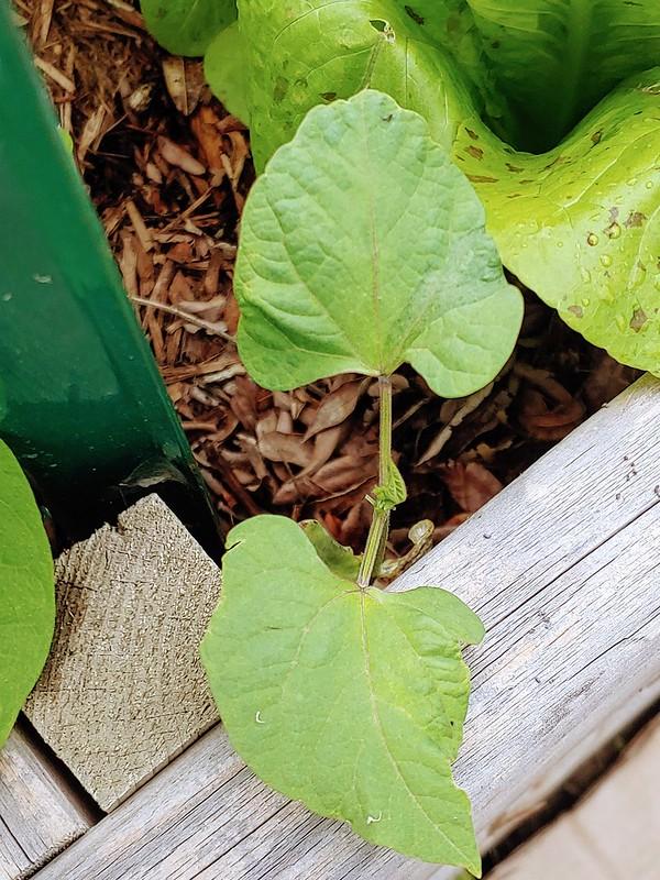 Growing Rio Zape Beans