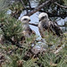 swainsons_hawk_fledgling_twins-20200628-100