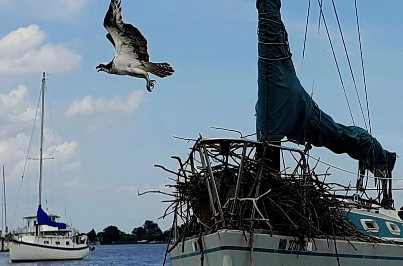 It's not a boat, it's an Osprey nest!